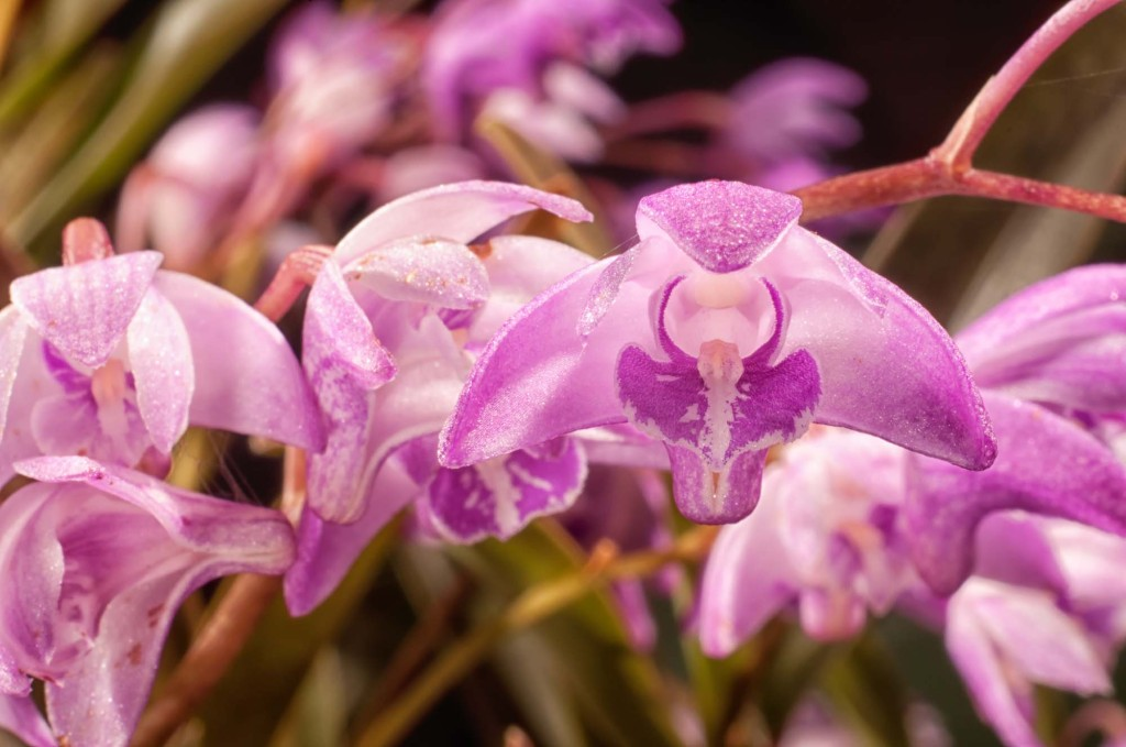 Frank's orchids