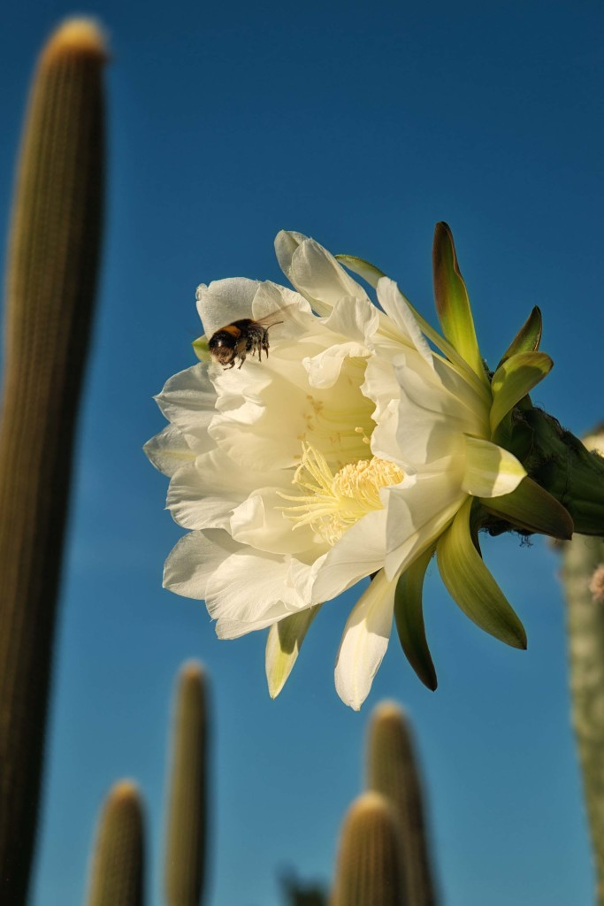 bee-cactus-cropped-copy-683x1024.jpg