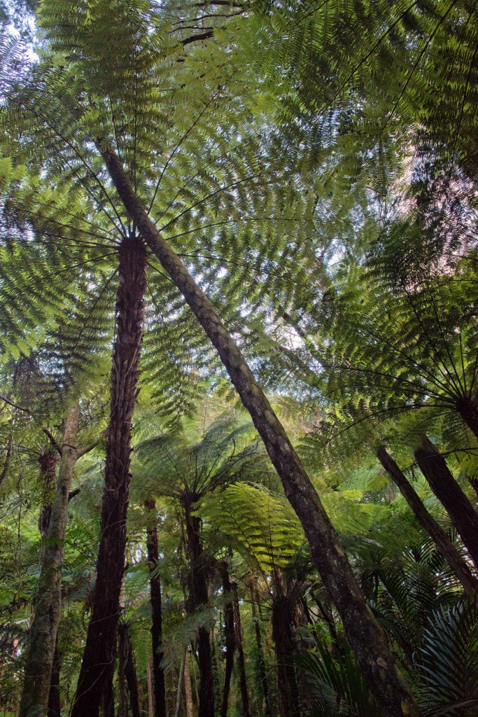 Looking up through the tree ferns.