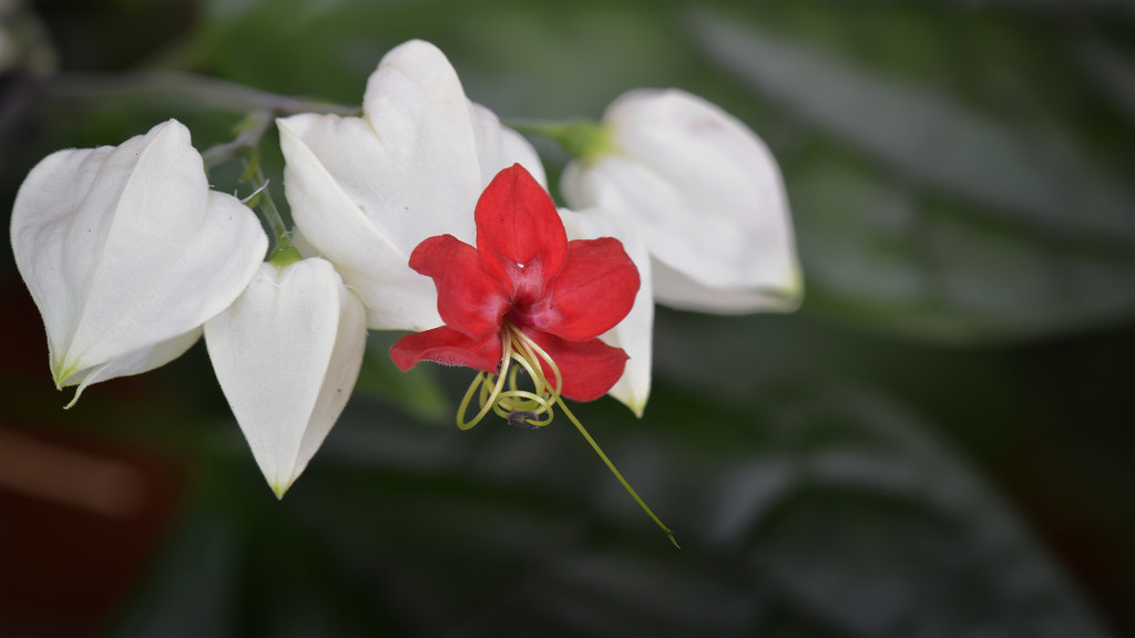 Bleeding heart vine - (10 image stack)