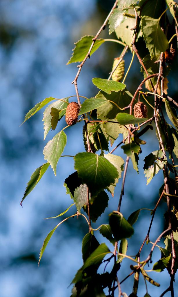 Silver Birch seeds.